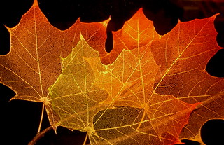 Maple Leaf Structure | by jurvetson