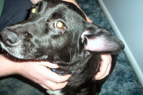 Dog Ear Hematoma Treatment Cost Uk