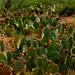 prickleypear cactus