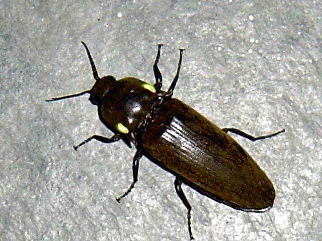Risultati immagini per pyrophorus nyctophanus