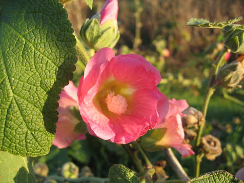 Hollyhock | by Librarianguish