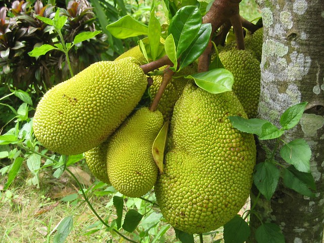 Breadfruit is gluten free