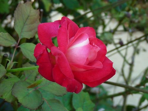 Mon jardin automne 2009 rosier buisson 39 georges dickson for Mon jardin 3d