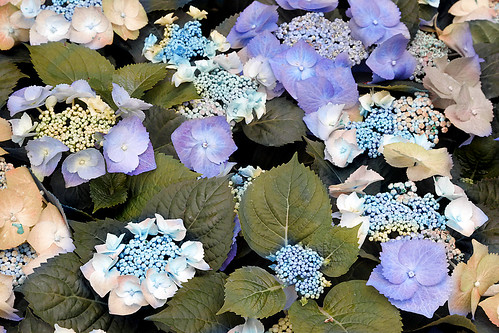 bed of hydrangea | by t. bell