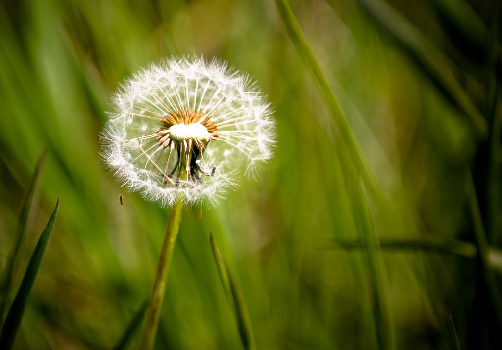 Dandelions Blowing in The Wind Photography Dandelion Blow Wind Blow