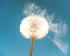 Dandelion seeds (050907) | by Adam, L'Iconoclaste Banal