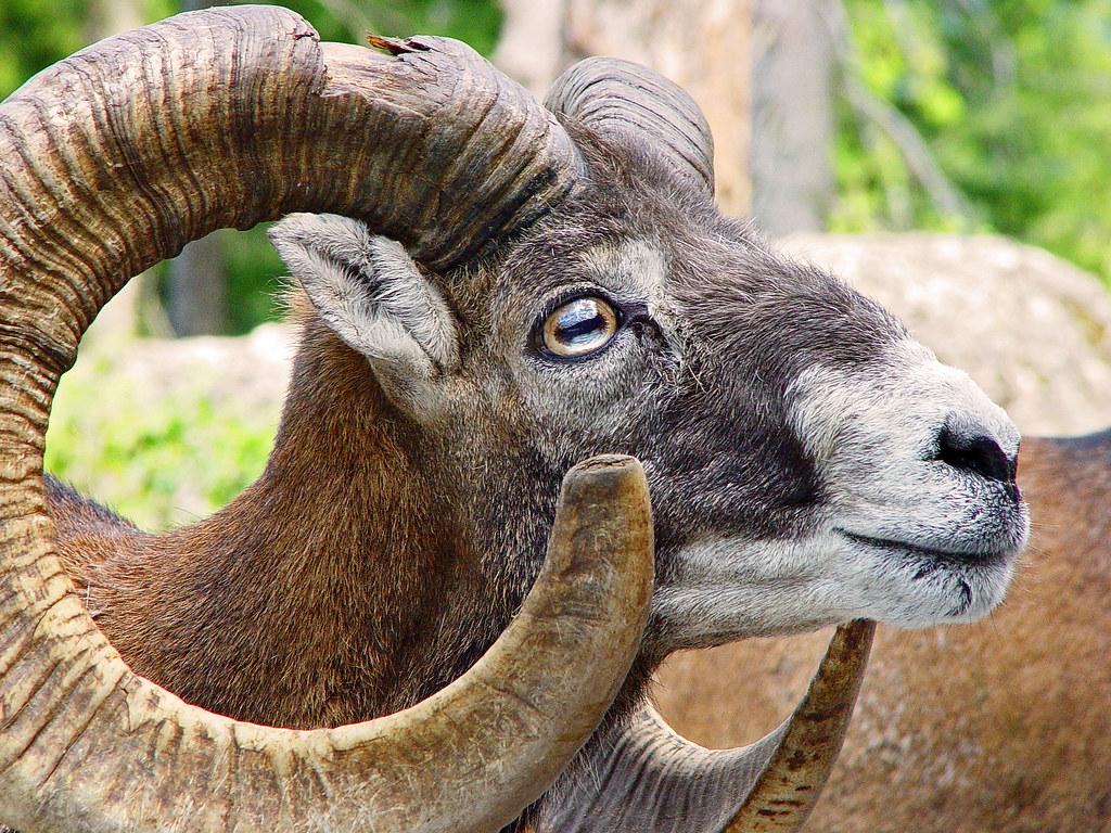 Mouflon Male Mouflon Taken In The Arth Goldau Zoo