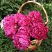 Peonies, Garden Basket1