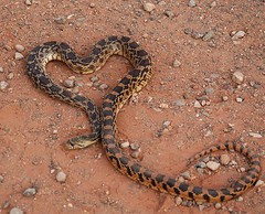 Poor heart shaped snake | by FlgCEH