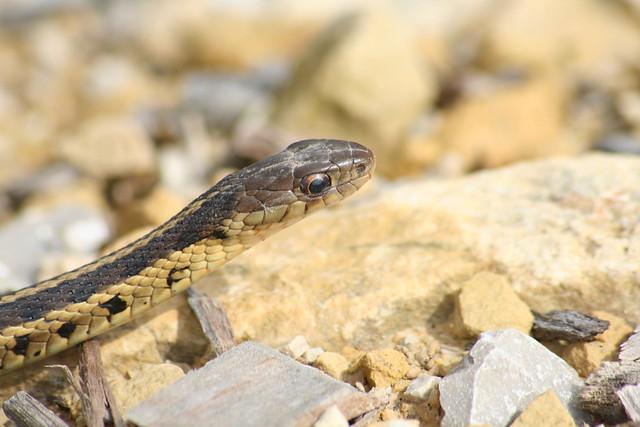Common Garter Snake Garter Snake Full Flickr Photo