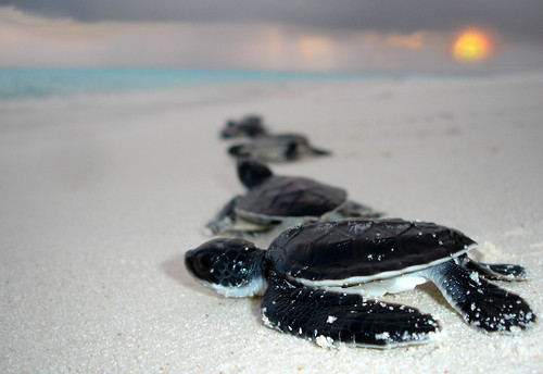 Turtle hatchlings, Maldives | by Cuy'n'Chips