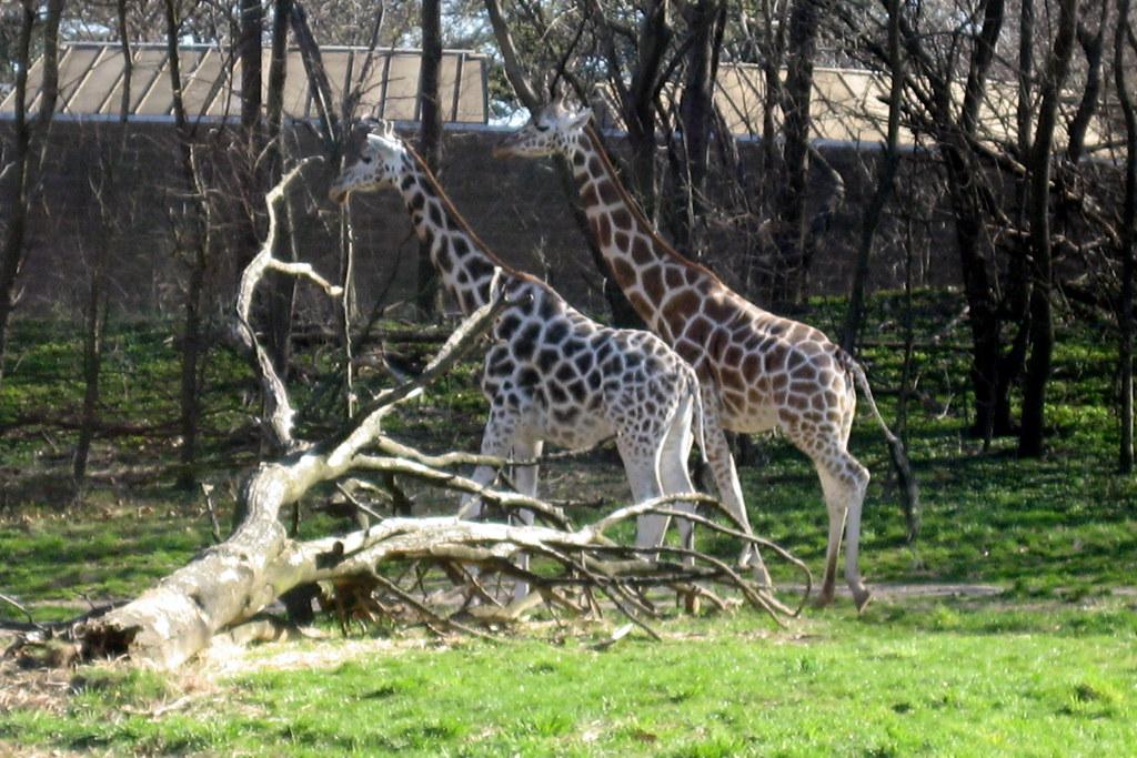NYC - Bronx - Bronx Zoo: Carter Giraffe Building ...