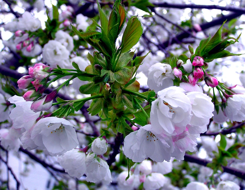 Flowering Tree 1 Seen On A Neighborhood Walk In