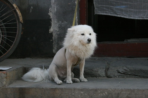 Shaved Puppy | It´s the hottest spring in Beijing in 40 ...