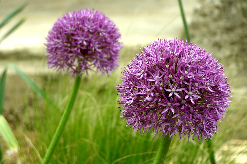 Garlic Flowers | At the Garlic Farm on the Isle of Wight ...