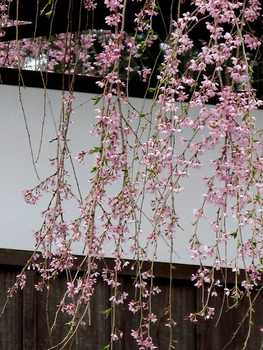 Weeping cherry しだれ桜 | by oceanbaby