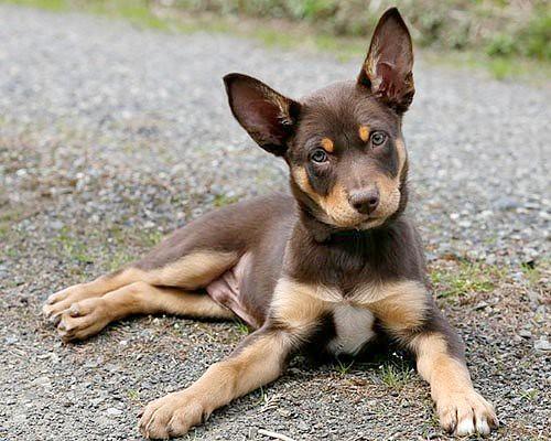 Kelpie Puppy Teddy 1697   Jeff   Flickr