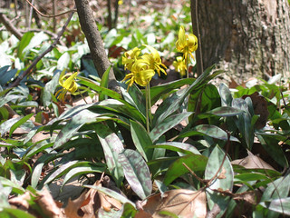 Trout lily again | by Drosera-x