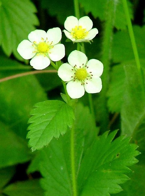 Wild strawberry flowers | Wild strawberry in Monsal Dale ...