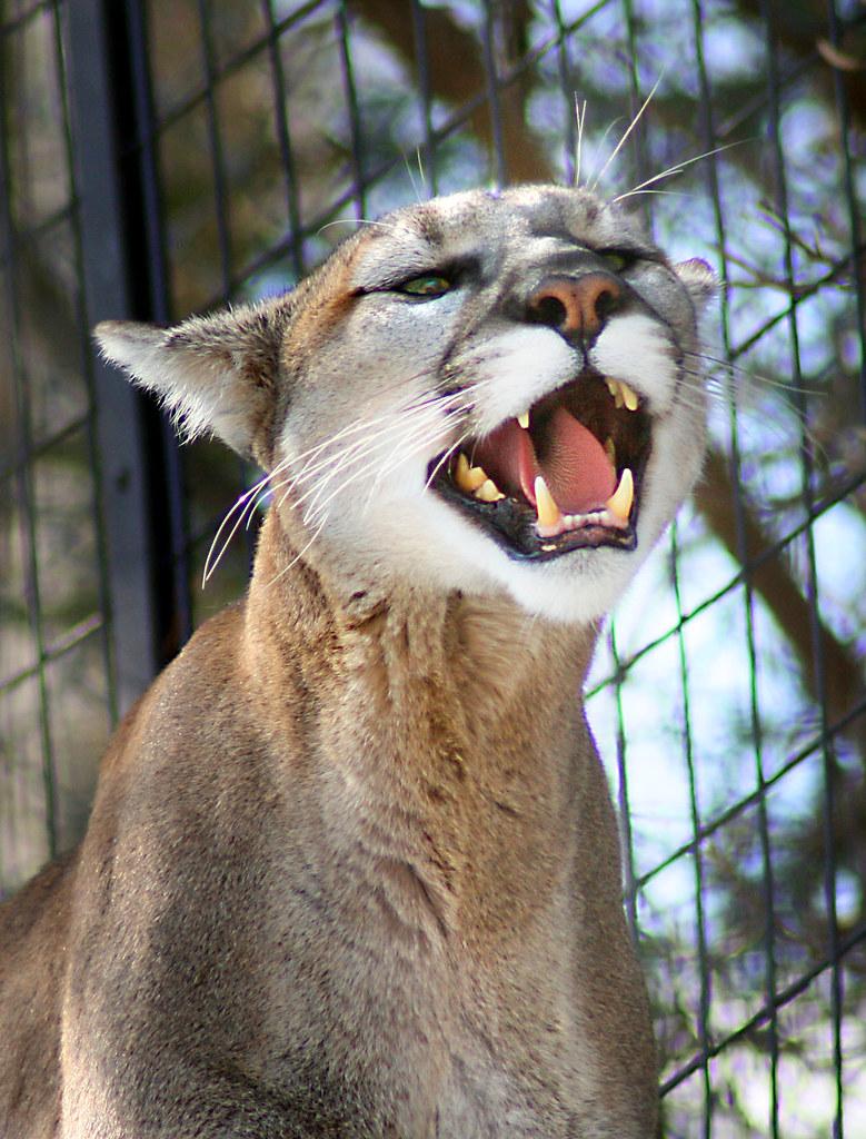 cougars bj