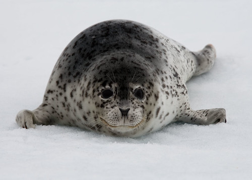 Spotted Seal Stare Down | by jomilo75