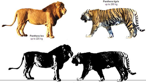 Siberian Tiger Vs African Lion Size Comparison