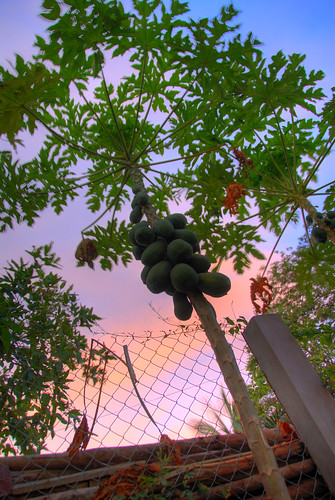Cay Du Du - Papaya Tree | by Lucas Jans