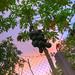 Cay Du Du - Papaya Tree