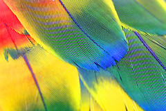 Scarlet Macaw Wing | by RedFeather Photography