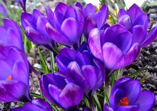 blue crocus | by Per Ola Wiberg ~ powi