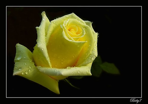 Yellow Rose | by baby7