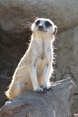 Meerkat | by adrian_mark_smith