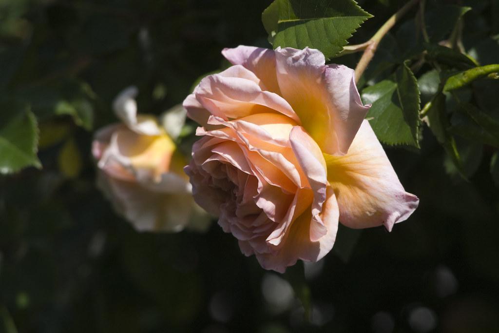 englische rose eos 400d mit ef100 300 f 4 5 5 6 usm iso400 flickr. Black Bedroom Furniture Sets. Home Design Ideas