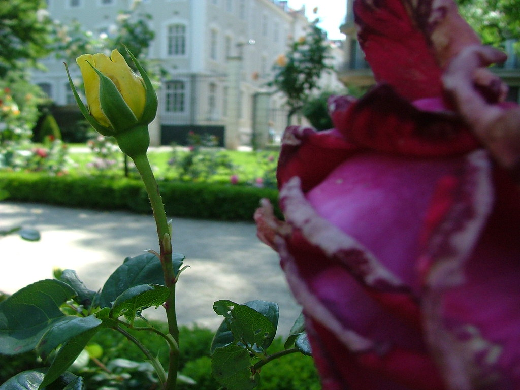 Rose du jardin des plantes rose of grenoble garden flickr for Jardin des plantes chambery