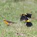 Safron-cowled blackbird - pair (Xanthopsar flavus)