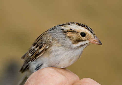 Clay-colored Sparrow (Spizella pallida) | by mesquakie8
