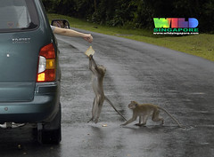 Long-tail macaques (Macaca fascicularis) | by wildsingapore