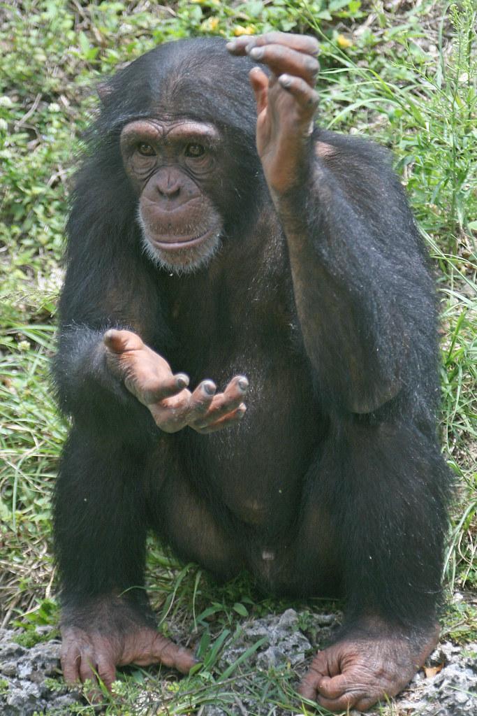 Image result for chimp on plane
