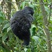 Susa group, mountain gorillas one of the twins