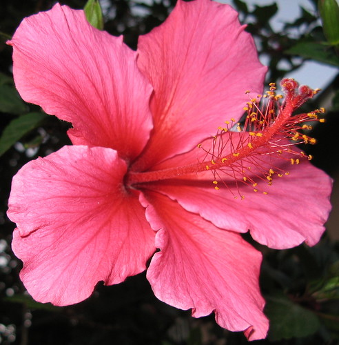 A hibiscus from our garden | by chattykathy2 (away for awhile)
