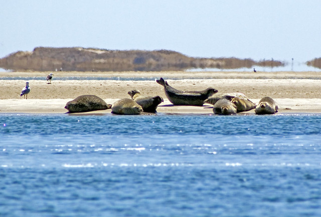 Hardings Beach Seals Chatham Cape Cod Harbor Seals On A Flickr