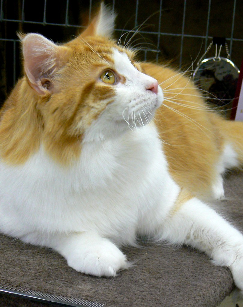 Maine Coon Cat For Sale In Ny