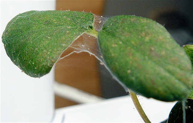 Spider Mite Infestation This Is Actually The Healthiest
