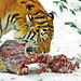 Tiger eating in the snow