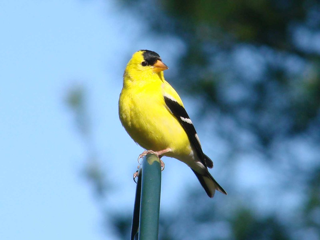Eastern Goldfinch | Is that a toupe you're wearing? Best ...