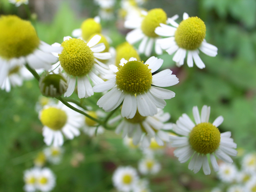 Image result for chamomile