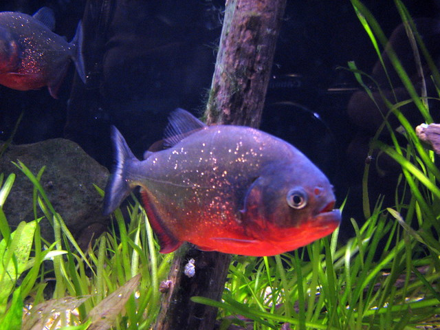 Piranha tynemouth blue reef aquarium tynemouth tyne a for Nourriture poisson rouge voile de chine