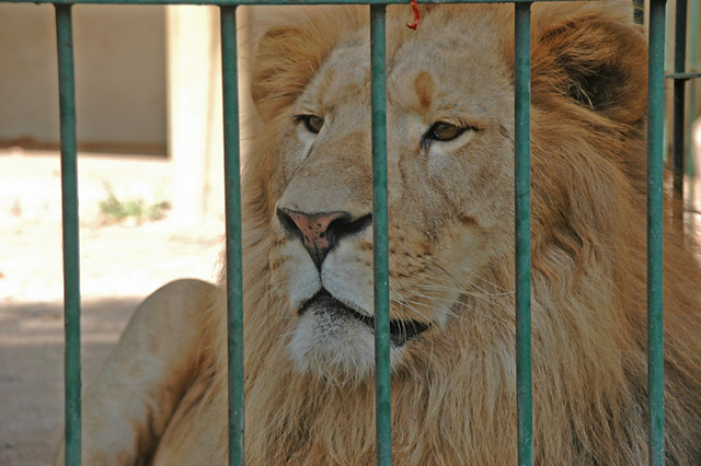 Kimba the lion at the Colima Zoo