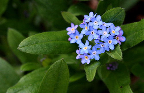 Blue Flowers | by F/H