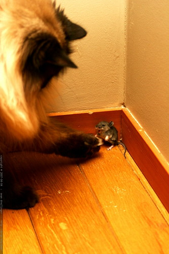 Cornered Mouse Fighting Our Cat Spaceghost Mg 2971 Flickr